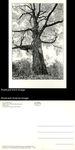 Maple Tree, Western Massachusetts (Set of 59) by Tom Zetterstrom