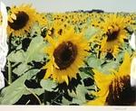Sunflower Field by Mike Finneseth